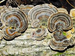 Turkey tail fungi (Submitted image)