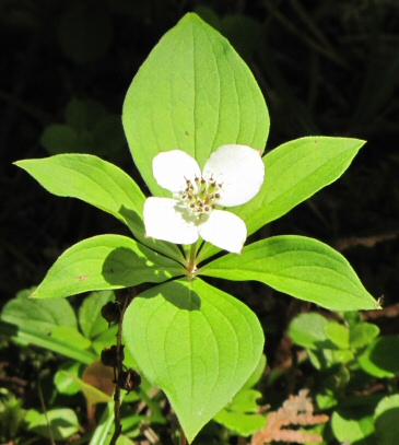 Bunchberry (aka Dwarf Cornel) on the Pic River.  No one writes home about this common flower.  Member of the Dogwood Family.