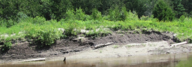 Wood bark embedded in bank of Pic River