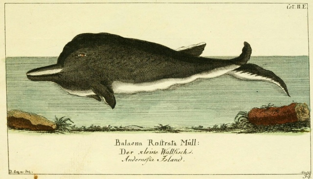 141a-northern-bottlenose-whale