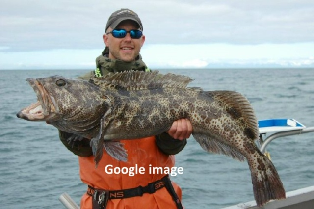 The ling or burbot comes in all sizes . . .