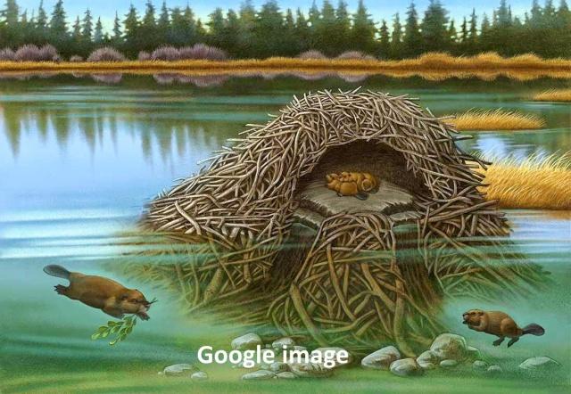 142b-beaver-lodge